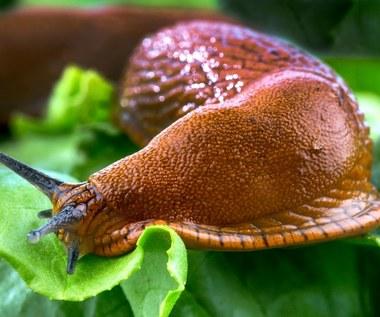 Jak pozbyć się ślimaków ogrodowych?