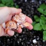 Jak pozbyć się ślimaków za pomocą skorupek jaj?