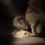 Jak pozbyć się szczura z domu?