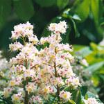 Jak pozbyć się żylaków za pomocą nalewki z kwiatów kasztanowca?