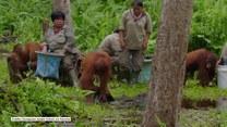 Jak prawidłowo myć ręce w dobie koronawirusa? Uczy orangutan