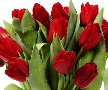 Jak przedłużyć trwałość bukietu tulipanów?