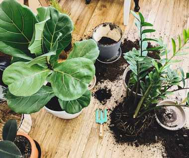 Jak przesadzać rośliny?