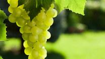 Jak przycinać winorośl? Niech żyje ogród!