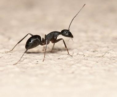 Jak radzić sobie z mrówkami w domu? Sprawdzone metody