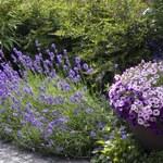 Jak rozmnażać lawendę z sadzonek zielnych?