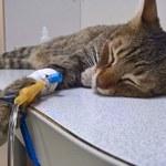 Jak rozpoznać choroby nerek u kotów?