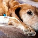 Jak rozpoznać, czy twój pies ma nowotwór?