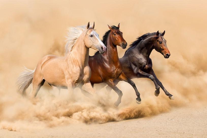 Jak rozróżnić umaszczenie konia? /©123RF/PICSEL