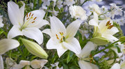 Jak sadzić i pielęgnować lilie?