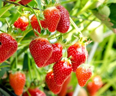 Jak sadzić i pielęgnować truskawki?