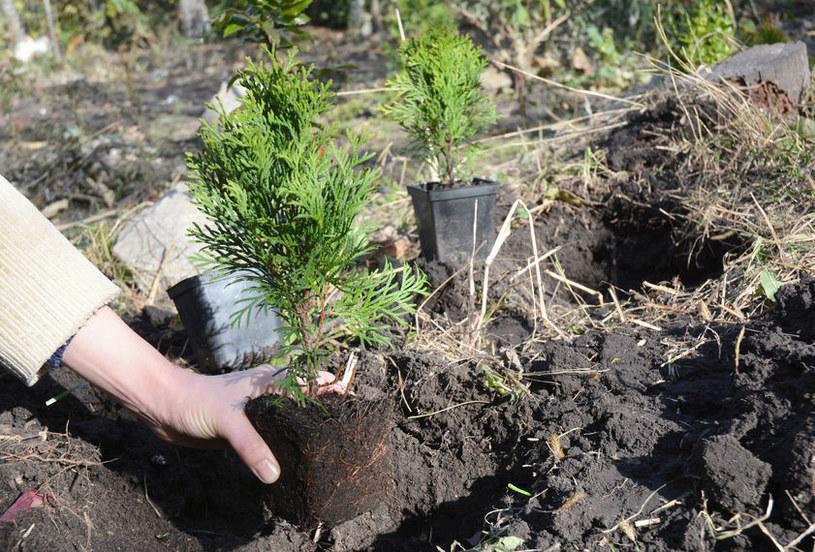 Jak sadzić tuje? /©123RF/PICSEL