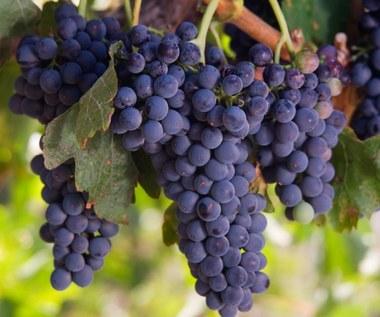 Jak samemu rozmnożyć winorośl?