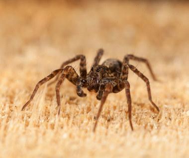 Jak się pozbyć pająków z domu?