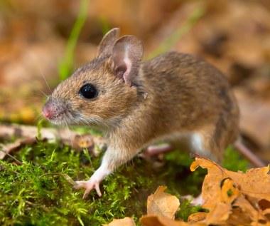 Jak skutecznie odstraszyć myszy? Sprawdzone sposoby