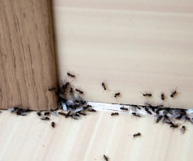 Jak skutecznie pozbyć się mrówek?