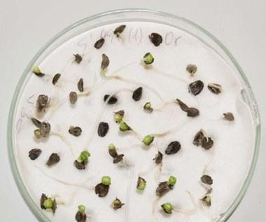 Jak sprawdzić zdolność kiełkowania nasion?