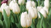 Jak sprawić, by tulipany dłużej kwitły?