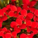 Jak stosować geranium na przeziębienie i infekcje?