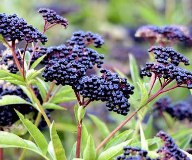 Jak stosować kwiaty czarnego bzu?