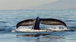 Jak umierają wieloryby