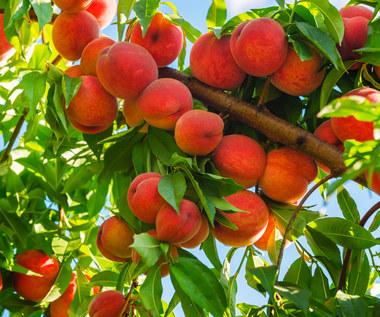 Jak uprawiać brzoskwinie w Polsce?