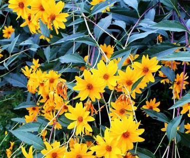 Jak uprawiać topinambur – słonecznik bulwiasty?