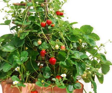Jak uprawiać truskawkę pnącą?