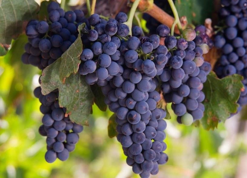 Jak uprawiać winorośl? /123RF/PICSEL