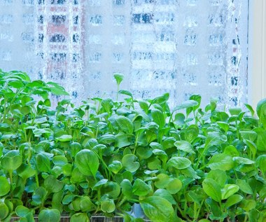 Jak uprawiać zioła na parapecie zimą?
