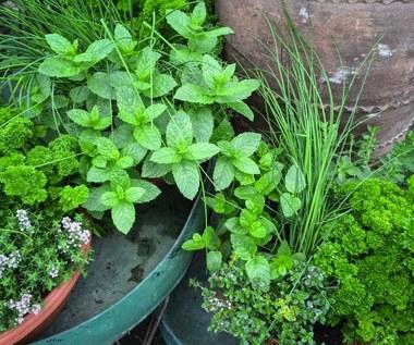 Jak uprawiać zioła uwzględniając ich wymagania?