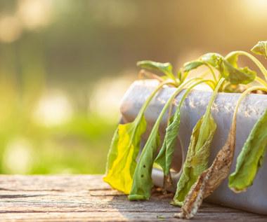 Jak uratować przelane rośliny doniczkowe?