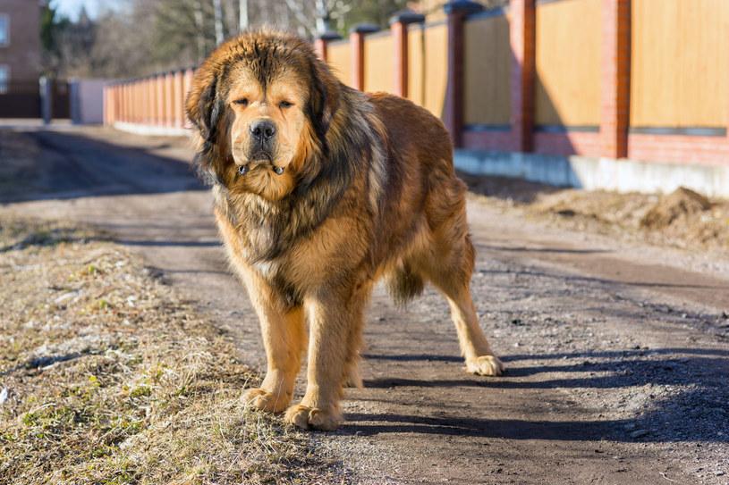 Jak ustalono, psy to mastify tybetańskie / zdj. ilustracyjne /123RF/PICSEL