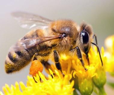 Jak usunąć żądło pszczoły?