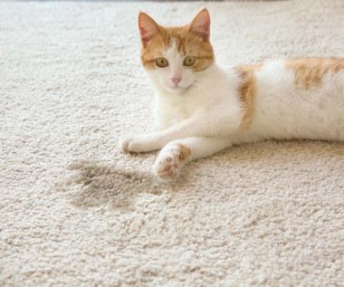 Jak usunąć zapach moczu kota z dywanu?