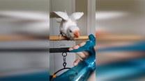 Jak wygląda kąpiel papugi?