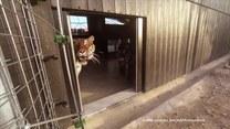 Jak wygląda nowe życie tygrysów w Hiszpanii?