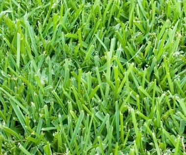 Jak wykorzystać skoszoną trawę?