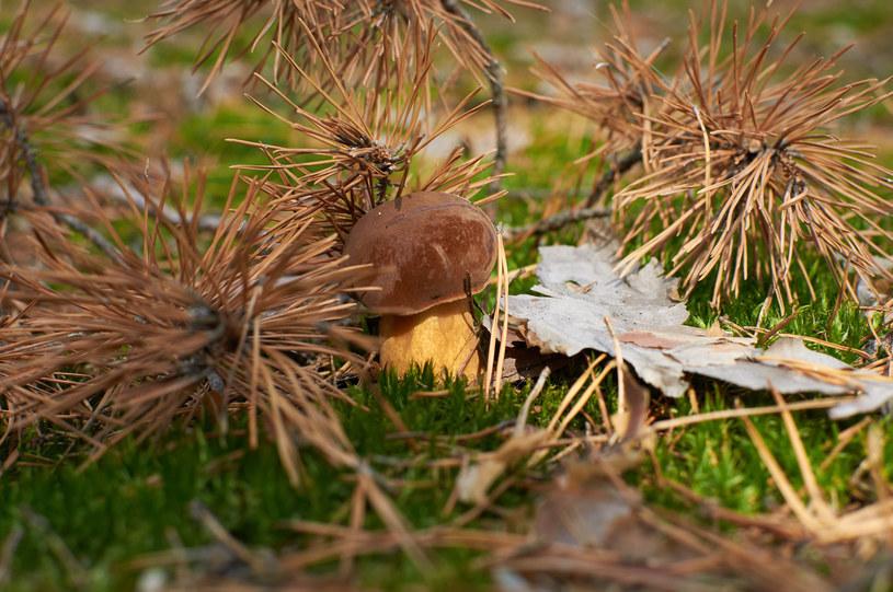 Jak wypatrzyć grzyba? Niektórzy profesjonalni zbieracze sugerują grzybobranie chwilę po deszczu /123RF/PICSEL