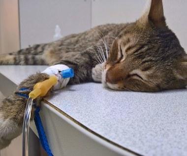 Jak zachęcić chorego kota do jedzenia?