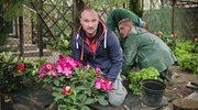 Jak zadbać o rododendrony i cisy?