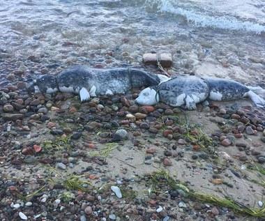 Jak zginęły bałtyckie foki? Sekcje zwłok fok mają to wyjaśnić