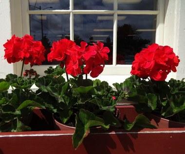 Jak zimować rośliny balkonowe?