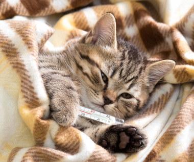Jak zmierzyć kotu temperaturę?