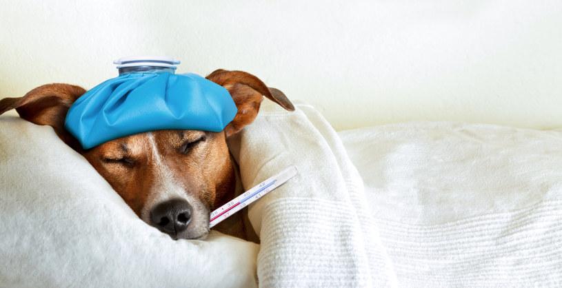 Jak zmierzyć psu temperaturę?