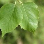 Jak zrobić napar z liści brzozy, by usunąć kamienie nerkowe?
