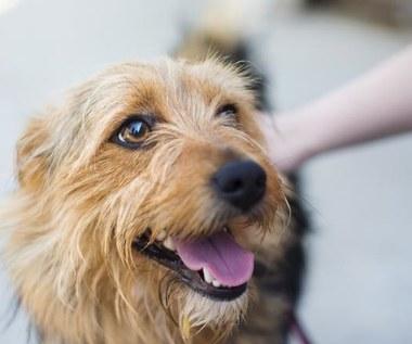 Jak zrobić naturalny dezodorant dla psa?