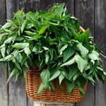 Jak zrobić nawozy do roślin na bazie pokrzywy?