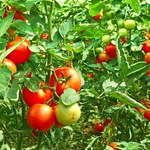 Jak zrobić oprysk z drożdży na pomidory i ogórki?