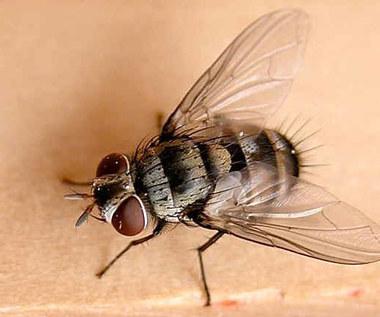Jak zrobić prostą pułapkę na muchy?